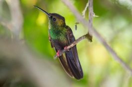 bronze-tailed plumeleteer formerly known as Red-footed plumeleteer, Chalybura urochrysia