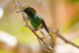 Coppery-headed emerald, hummingbird, Elvira cupreiceps, male, Central Highlands, Costa Rica.