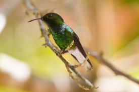 Coppery-headed emerald, hummingbird, Elvira cupreiceps, male, Central Highlands, Costa Rica.