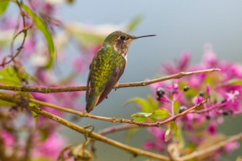 Volcano hummingbird; Selasphorus flammula; Talamanca Cordillera; Talamanca Mountains; Costa Rica; female; flowering bush;