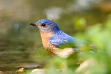 Eastern bluebird. bathing in shallow pool.