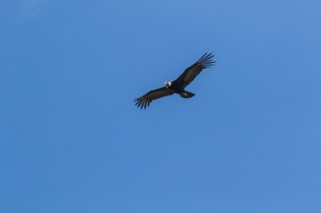 Andean condor; Ecuador.; Antisana Reserve; Vultur gryphus;