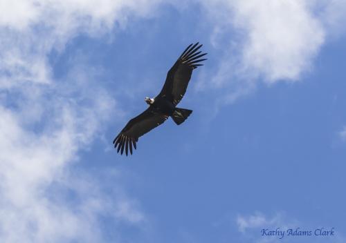 Andean condor; Ecuador.; Antisana Reserve; Vultur gryphus