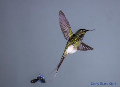 Booted racket-tail hummingbird; Ecuador.; Septimo Paraiso