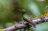 Buff-winged starfrontlet hummingbird; Coeligena lutetiae; Guango Lodge; Eastern Andes; Ecuador