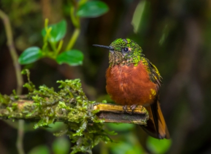 Chestnut-breasted coronet; Boissonneaua matthewsii; Guango Lodge; Eastern Andes; Ecuador