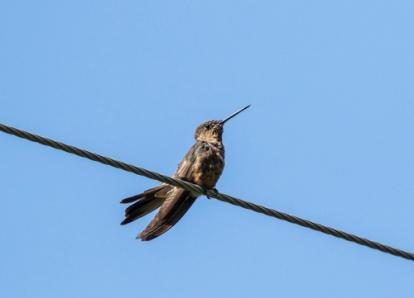 Giant hummingbird; Patagona gigas; Ecuador.; places ecuador; Antisana Reserve;