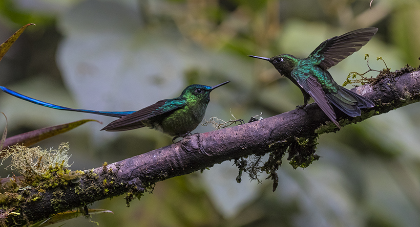 Long-tailed slyph hummingbird; Ecuador.; Guango Lodge