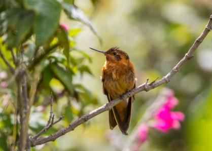shining sunbeam hummingbird; Aglaeactis cupripennis; Ecuador.; places ecuador; Antisana Reserve;