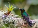 Tourmaline sunangel; Heliangelus exortis; Guango Lodge; Eastern Andes; Ecuador