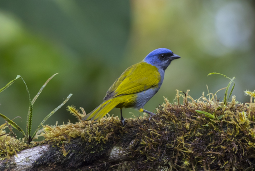 Blue-capped tanager KAC9857