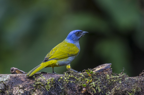 Blue-capped tanager KAC9864
