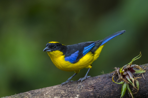 Blue-winged mountain-tanager KAC9997