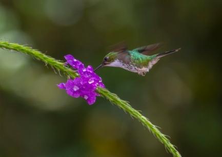 Booted racket-tail hummingbird; Ocreatus underwoodii peruanus; Ecuador; Alambi Cloud Forest Reserve; Mindo Valley, porterweed