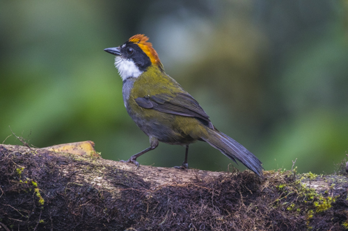 Chestnut-capped Brush-Finch, Buarremon brunneinucha,
