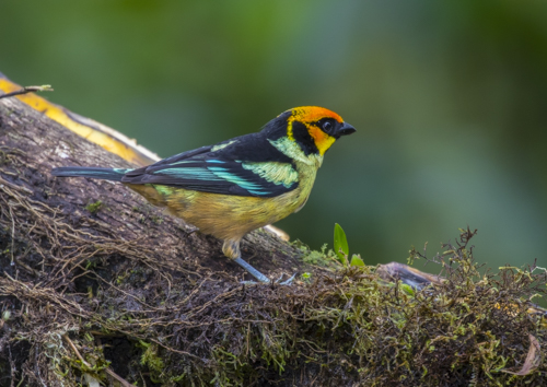 Flame-faced tanager; Tangara parzudakii; Ecuador; San Tadeo; Mindo Valley