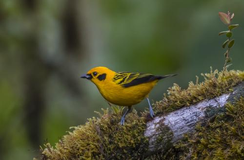 Golden tanager; Tangara arthus; Ecuador; San Tadeo; Mindo Valley