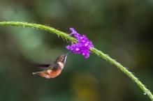 Purple-throated woodstar hummingbird; Calliphlox mitchellii; Ecuador; Mindo Valley; Alambi Cloud Forest Reserve