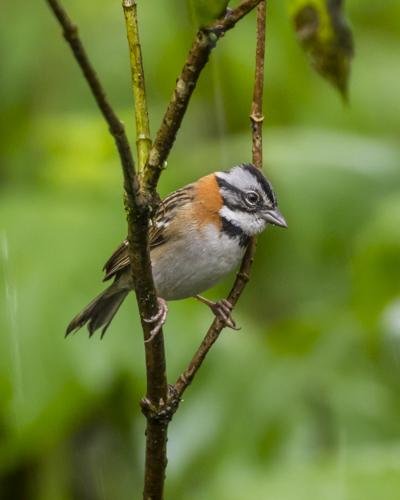 rufous-collared sparrow KAC0035