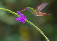 Rufous-tailed hummingbird; Amazilia tzacatl; Ecuador; Alambi Cloud Forest Reserve; Mindo Valley