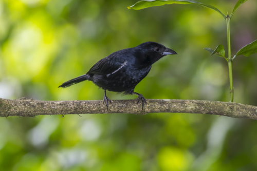 White-lined tanager KAC9389