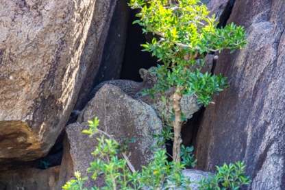Baby leopard hides