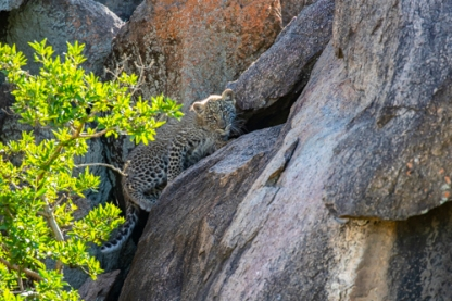 Baby leopard moves to crevice