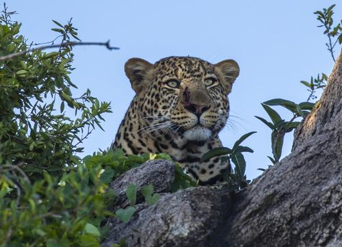 Leopard KAC3964