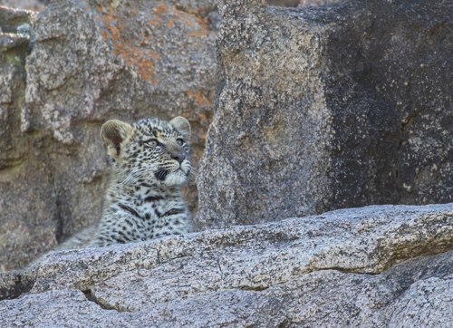 Baby Leopard in Peril
