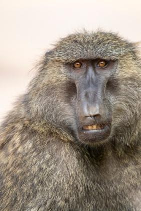 Olive baboon KAC0240
