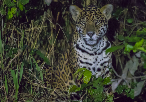 Jaguar, Pantanal, Matto Grosso, Brazil, juvenile, males