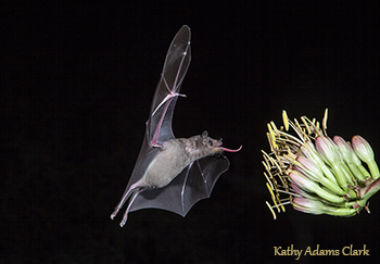 Nectar-feeding bat in Arizona photographed by the woman-who-makes-the-coffee