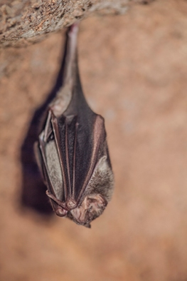 Vampire bat photographed by the woman-who-makes-the-coffee